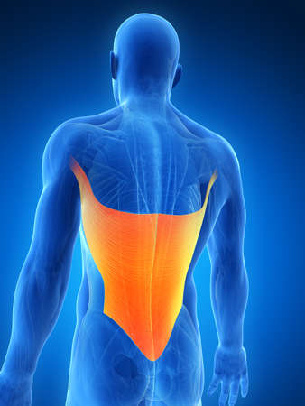 dorsi: 3d rendered illustration - latissimus