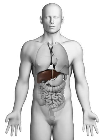 falciform: 3d rendered illustration - male liver Stock Photo