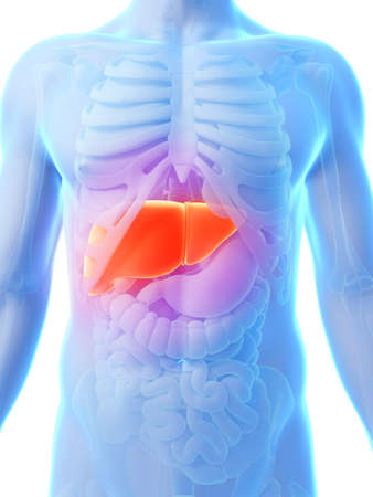 human liver: 3d rendered illustration - male liver Stock Photo