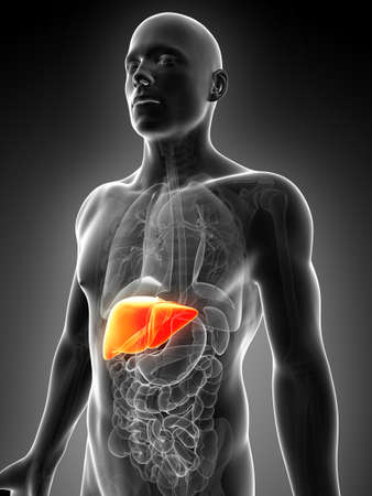 human organs: 3d rendered illustration of the male liver Stock Photo