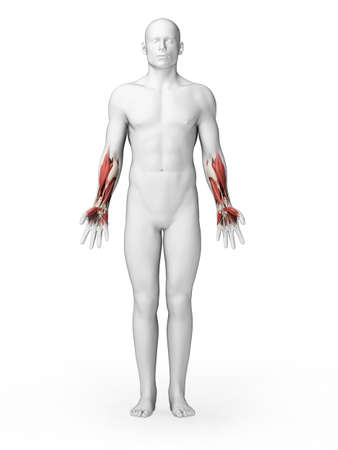 arm muscles: 3d rendered illustration - lower arm muscles
