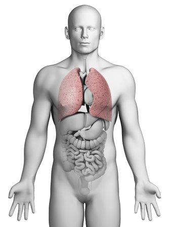aparato respiratorio: Ilustración 3d rendered - pulmón masculino Foto de archivo