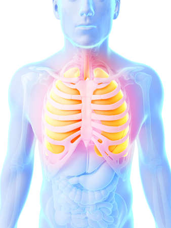 voices: 3d rendered illustration - male lung