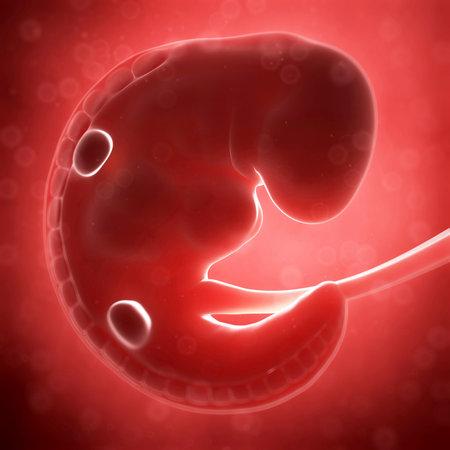 fetal: Illustrazione di rendering 3D - feto umano mese 1 Archivio Fotografico