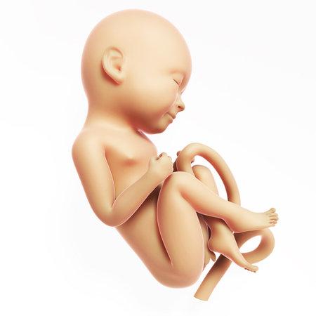 feto: Ilustración 3d rendered - 9 meses feto humano Foto de archivo