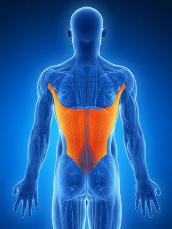 latissimus: Illustrazione di rendering 3D - gran dorsale