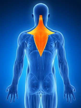 trapezius: 3d rendered illustration - trapezius