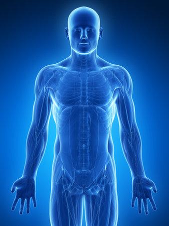 anatomie humaine: 3d illustration de rendu - muscles masculins