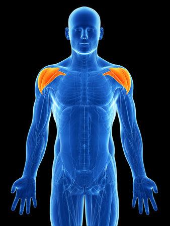 deltoid: 3d rendered illustration - shoulder muscles Stock Photo