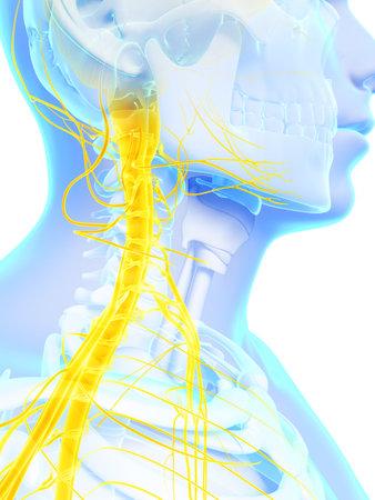huesos humanos: Ilustración 3d rendered - nervios y la médula espinal superior