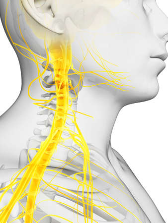 chiropractor: 3d rendered illustration - spinal cord and upper nerves