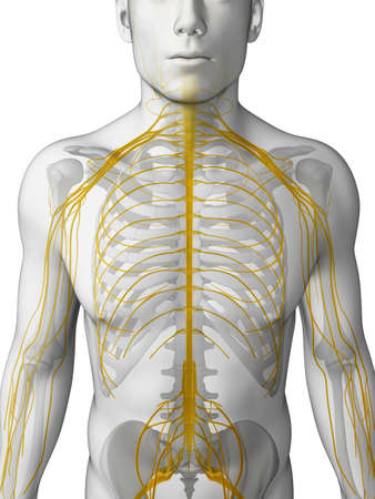 3d rendered illustration - male nerve system illustration