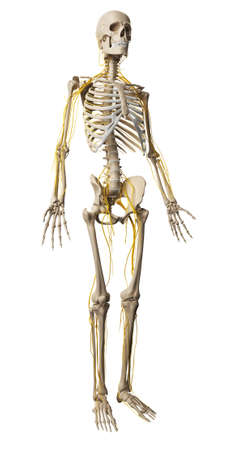 skeletal: 3d rendered illustration - male nerve system