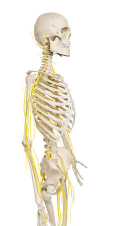 neuropathy: 3d rendered illustration - male nerve system