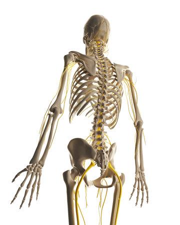 3d rendered illustration - male nerve system Stock Illustration - 18071145