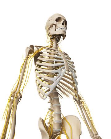 esqueleto humano: Ilustración 3d rendered - sistema nervioso masculino