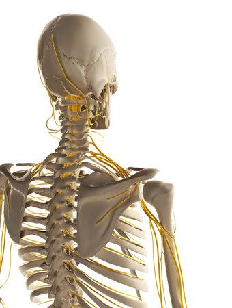 anatomy skeletal: 3d rendered illustration - male nerve system