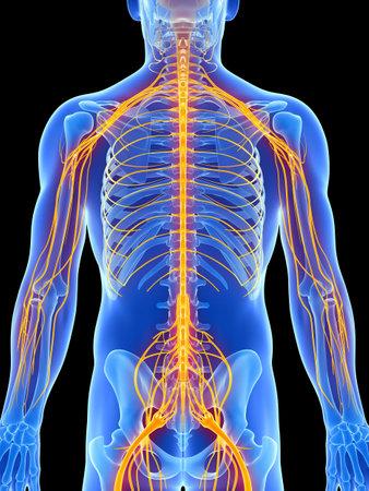 nerveux: 3d illustration de rendu - syst�me nerveux m�le