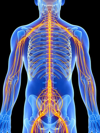3d rendered illustration - male nerve system illustration