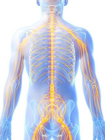 nerveux: 3d illustration de rendu - système nerveux mâle