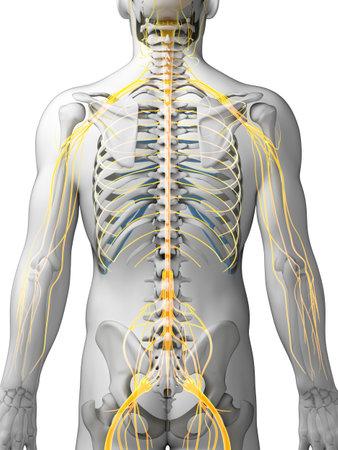 sistema nervioso: Ilustraci�n 3d rendered - sistema nervioso masculino