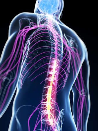 inflamed: 3d rendered illustration of the spinal cord Stock Photo