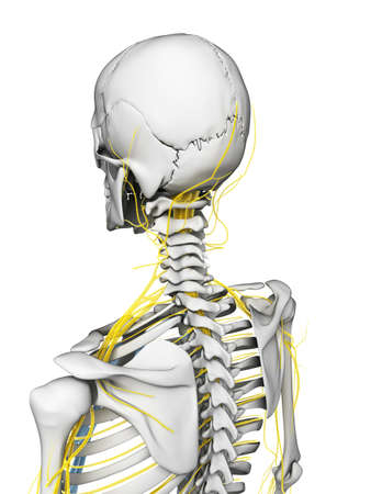 scheletro umano: Illustrazione di rendering 3D - nervi e scheletro Archivio Fotografico