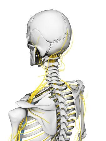 esqueleto humano: Ilustraci�n 3d rendered - nervios y el esqueleto Foto de archivo