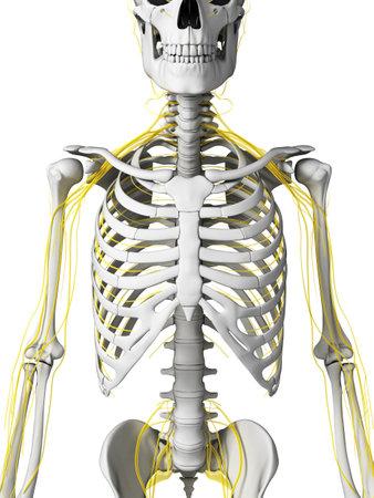 neuropathy: 3d rendered illustration - nerves and skeleton Stock Photo