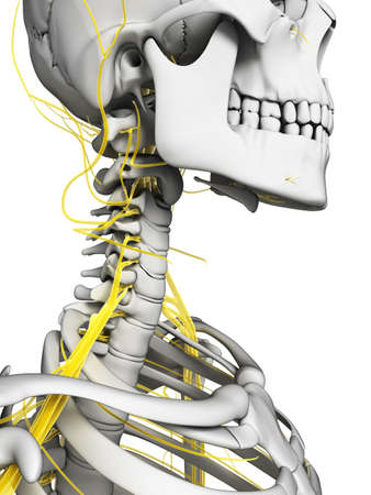 neuropathy: 3d rendered illustration - nerves and skeleton Stock Photo