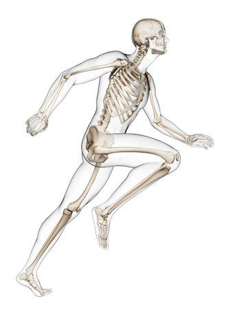 scheletro umano: Illustrazione di rendering 3D - corridore anatomia Archivio Fotografico