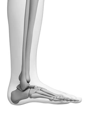 metatarsal: 3d rendered illustration - foot anatomy
