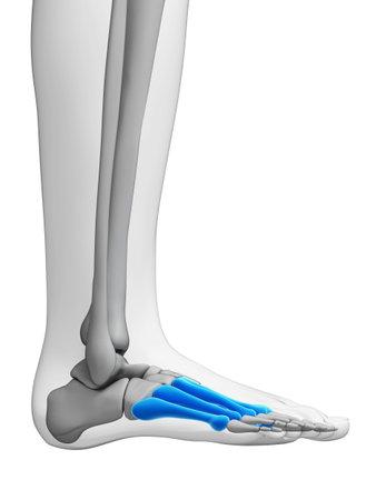 metatarsal: 3d rendered illustration - metatarsal bones