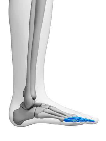 tarsal: 3d rendered illustration - phalanges
