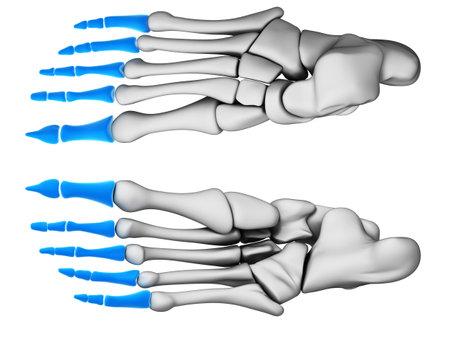 metatarsal: 3d rendered illustration - phalanges