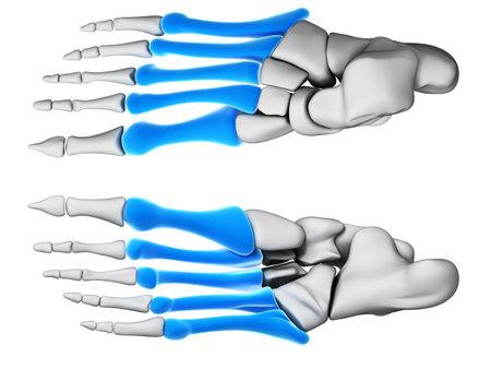 huesos humanos: Ilustración 3d rendered - huesos metatarsianos