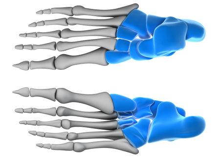 tarsal: 3d rendered illustration - tarsal bones Stock Photo