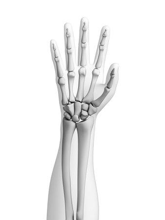 distal: Ilustraci�n 3d rendered - huesos de la mano
