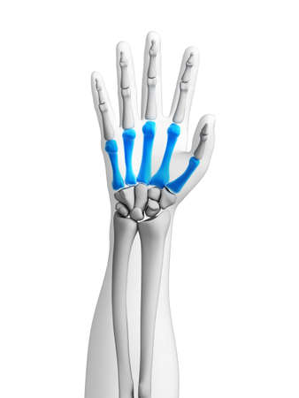 distal: 3d rendered illustration - bones of the hand Stock Photo