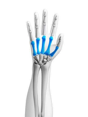 distal: Ilustración 3d rendered - huesos de la mano