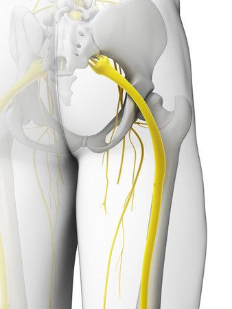 nerve: 3d rendered illustration - sciatic nerve Stock Photo