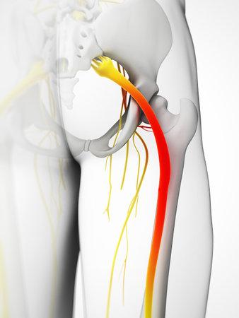 nervios: Ilustración 3d rendered - nervio ciático