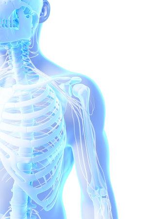 shoulder anatomy: 3d rendered illustration - shoulder Stock Photo