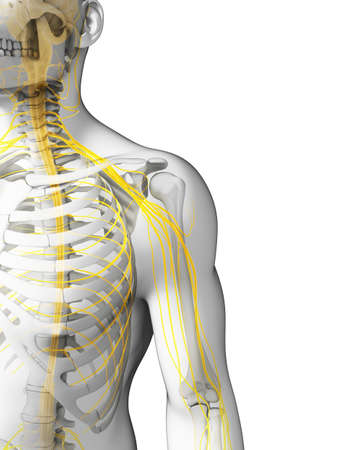 osteoarthritis: 3d rendered illustration - shoulder nerves Stock Photo