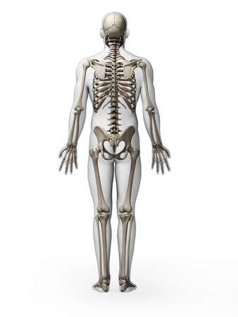 human skeleton: 3d rendered illustration - skeleton Stock Photo