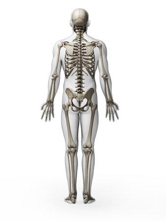 scheletro umano: Illustrazione di rendering 3D - scheletro
