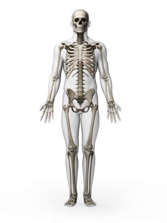 human anatomy: 3d rendered illustration - skeleton Stock Photo