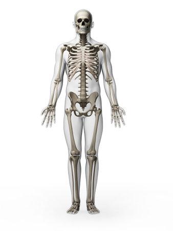 anatomie mens: 3d teruggegeven illustratie - skelet