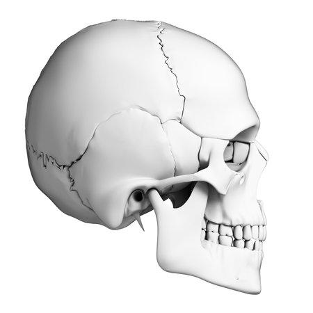 scheletro umano: Illustrazione di rendering 3D - cranio anatomia umana