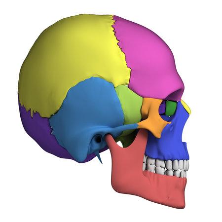 skull biology: 3d rendered illustration - human skull anatomy Stock Photo
